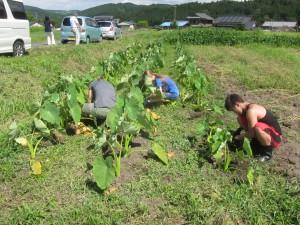 菜園でボランティア